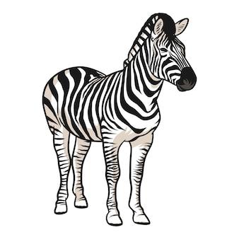 Zebra vector illustration with shading isolated on white background