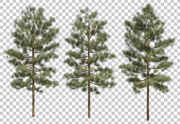3d-darstellung von pinus canariensis