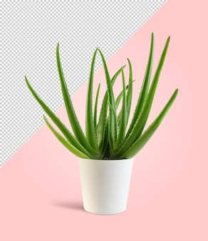 Aloe vera pflanze auf bearbeitbarem hintergrund
