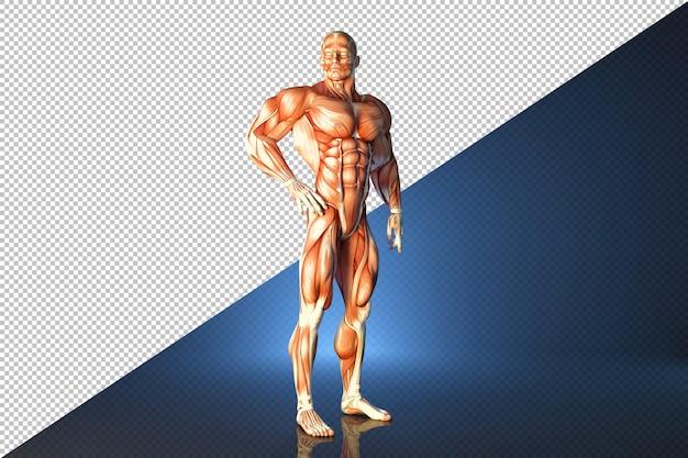 Anatomische illustration des aufstellenden athleten