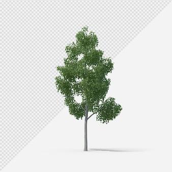 Birkenbaum isolierte darstellung mit schatten