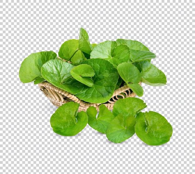 Centella asiatica, asiatisches wassernabelkraut isoliert premium psd