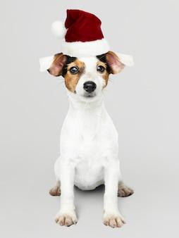 Entzückender jack russell retriever-welpe, der einen weihnachtshut trägt