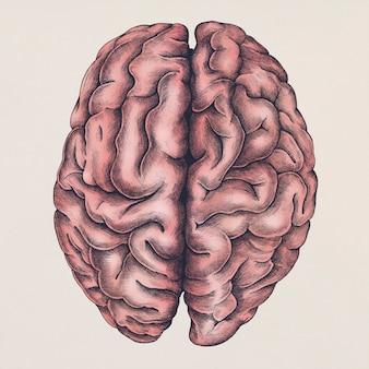 Gehirn-illustration