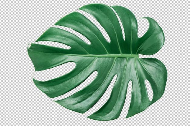 Grünes monstera blatt auf getrenntem weiß. tropische blätter