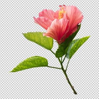 Hibiskusblütenstamm isolierte wiedergabe
