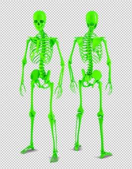 Hintere und vordere ansicht des menschlichen skeletts in voller größe