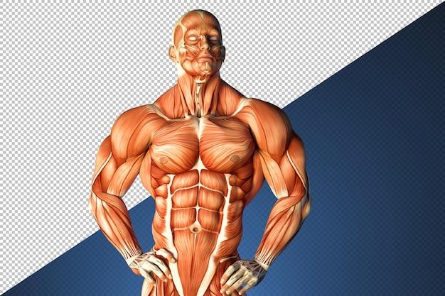 Illustration von menschlicher muskelstruktur