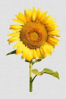 Isoleated transparenzhintergrund der sonnenblumenblume