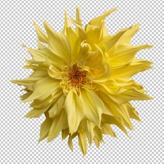 Isolierte wiedergabe der gelben dahlienblume