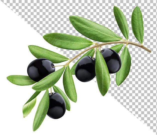 Olivenbaumzweig isoliert
