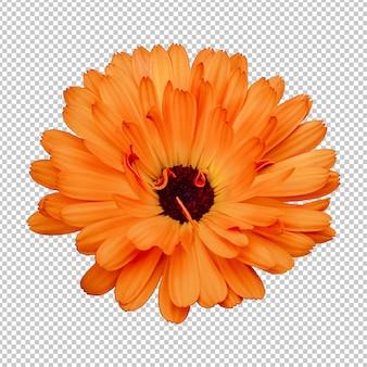 Orange ringelblume isolierte wiedergabe