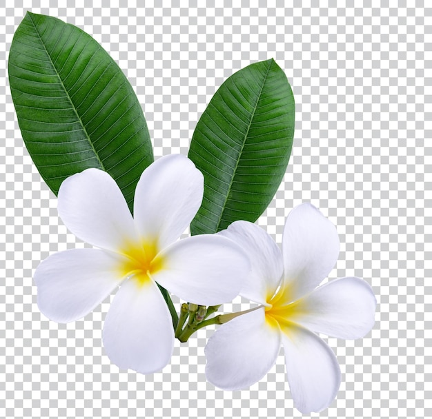 Plumeria, frangipani-blumen isoliert auf weißem hintergrund. premium-psd