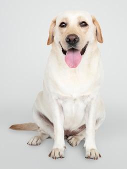 Porträt eines labrador retriever-hundes