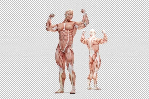 Rendering der menschlichen männlichen muskelanatomie