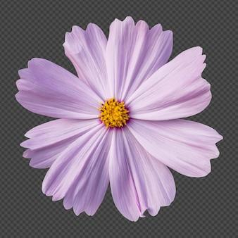 Rosa kosmosblume isolierte wiedergabe