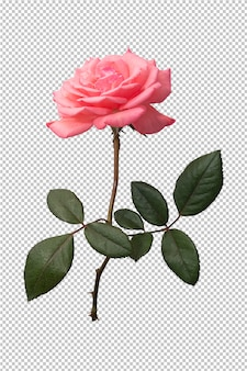 Rosarosenblume auf transparentem