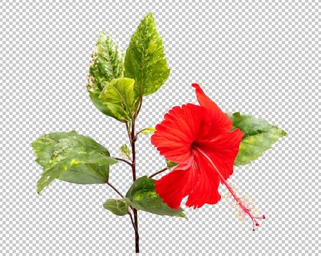 Rote hibiskusblüte isoliert