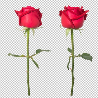 Rote rosenblüten Premium PSD