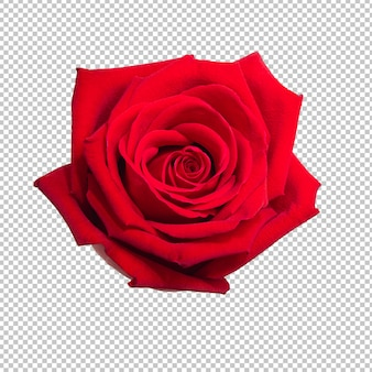 Rote rosenblume