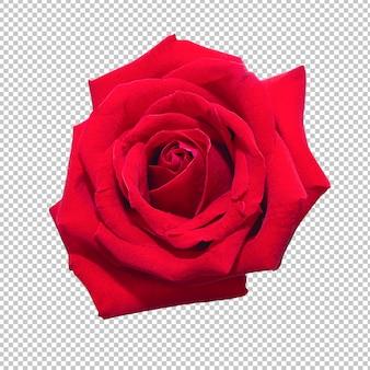 Rotrosenblumen auf lokalisierter transparenz. blumen.
