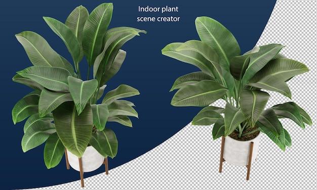 Strelitzia nicolai im topf zimmerpflanze im topf dekorationspflanze im topf