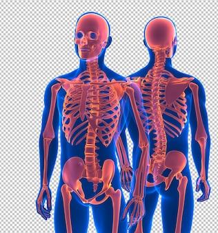 Vordere und rückansicht des menschlichen skeletts nahaufnahme