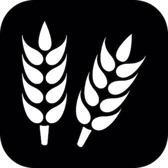 Pianta di grano su sfondo quadrato