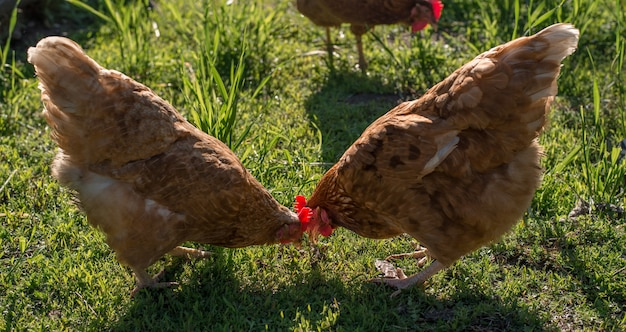 2 poules rouges à la recherche de nourriture dans l'herbe
