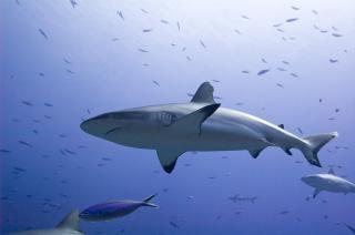 2 requins