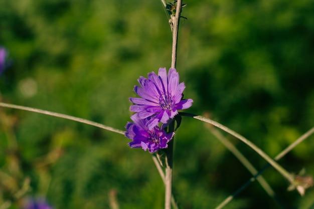 Abaissement de la chicorée et des fleurs violettes sur le champ par une journée ensoleillée