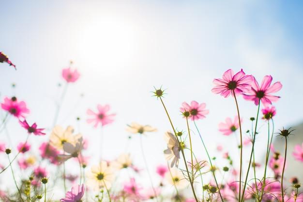 Abatract.sweet color cosmos flowers in bokeh texture soft blur pour l'arrière-plan avec un style vintage rétro pastel