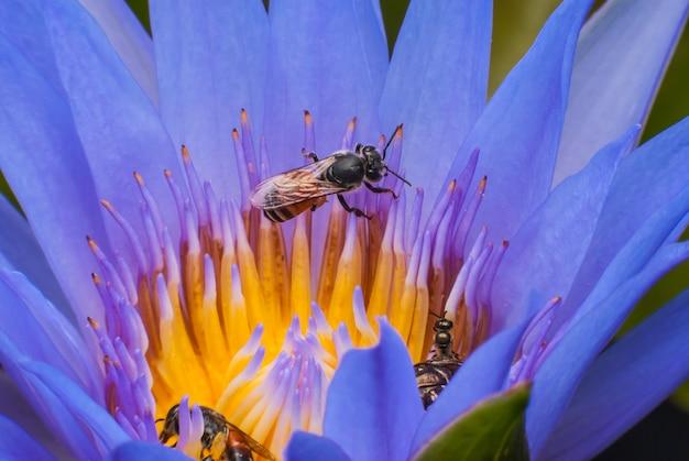 Abeille sur belle fleur de lotus.