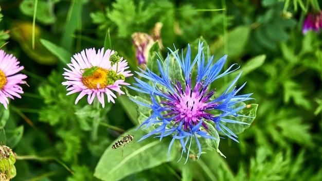 Une abeille butinant une fleur bleue. sotchi