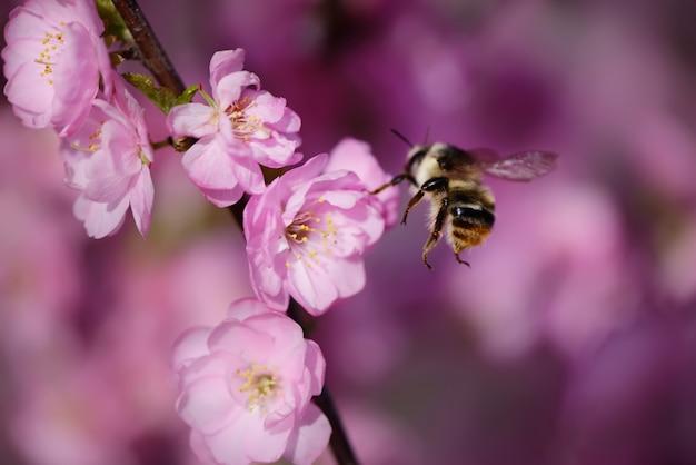 Abeille sur une cerise japonaise, le printemps arrive
