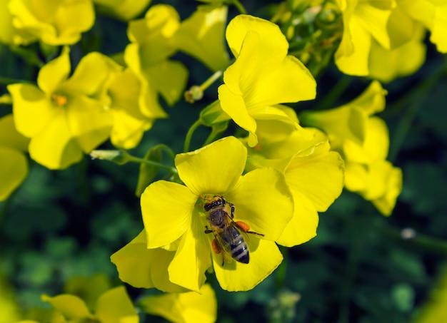 Une abeille collecte le pollen des fleurs