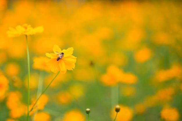 L'abeille sur le cosmos fleurit dans le champ.