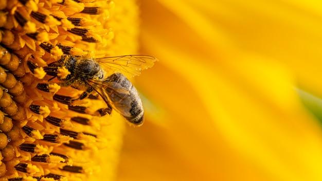 Abeille dans un pollen jaune, recueille le nectar de tournesol