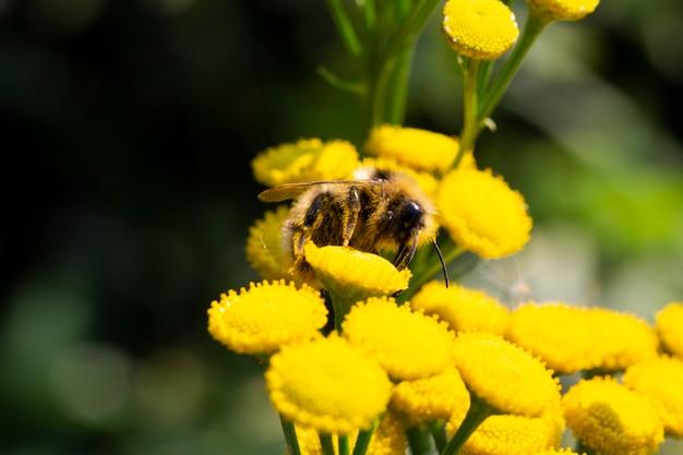 Abeille et fleur. une abeille recueille le miel d'une fleur. macrophotographie. arrière-plans d'été et de printemps