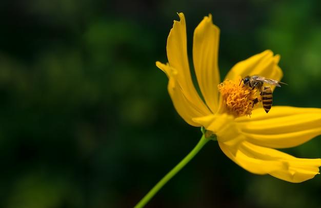 Abeille et fleur cosmos jaune