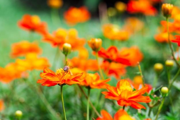 Abeille sur fleur jaune, pétales en plusieurs couches