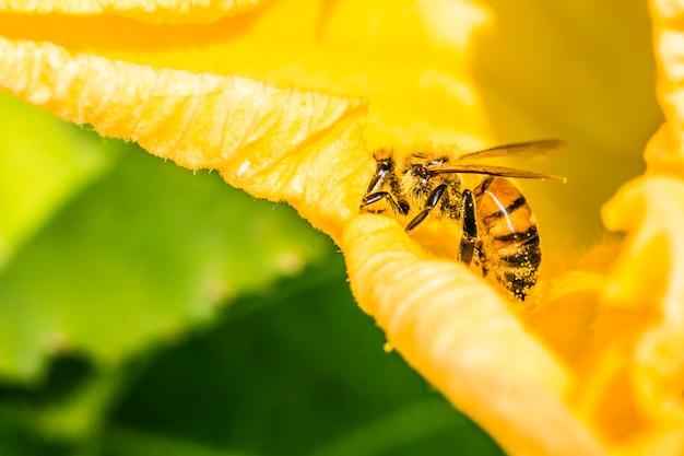 Abeille sur une fleur jaune