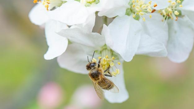 Abeille sur une fleur de pommier dans la nature