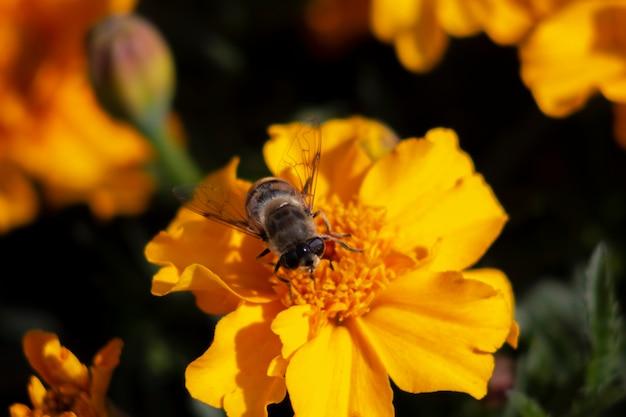 Abeille sur une fleur de souci orange