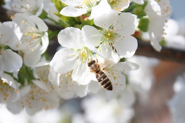 Abeille sur les fleurs blanches se bouchent