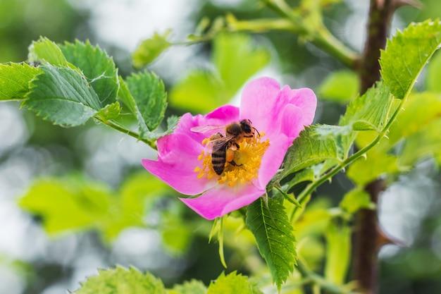 Abeille sur fleurs roses églantier. églantier