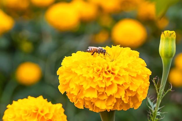 Abeille sur fleurs de souci jaune ou tagetes erecta dans le jardin.