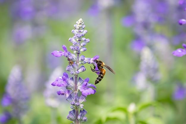 Abeille sur fleurs violettes ou lavandula angustifolia dans le jardin