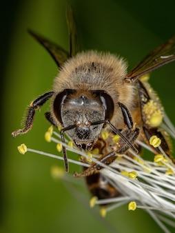 Abeille mellifère occidentale adulte de l'espèce apis mellifera