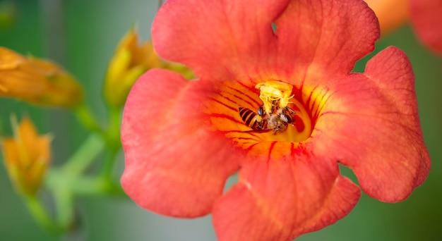 Abeille à miel ou abeille ouvrière collecte du pollen de fleur d'oranger, abeille volante avec la lumière du soleil du printemps.